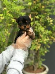 Filhotinhos de Yorkshire terrier, disponível em loja.