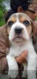 Lindos filhotes de beagle macho