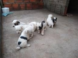 Filhotes de Lhasa