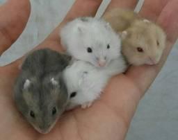 Filhote de hamster anão russo