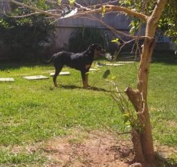 Rottweiler vacinada fêmea 6 meses (aceito oferta)