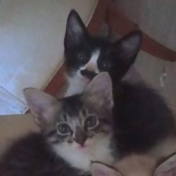 Doação gatas fêmeas de 2 meses