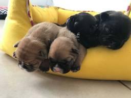 Bulldog francés -