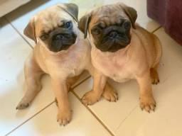 Pugs - Filhotes Machos