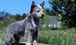 Linhagem!! Cães Boaideiro Australiano com Pedigree e Garantia de Saúde