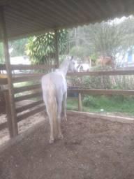 Cavalo Marcha Picada (Divido no cartão)