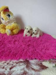 Poodles Machinhos