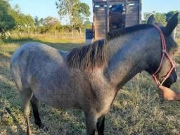 Cavalo potranca