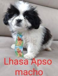 Dê um Lhasa de presente no dia dos pais!!!