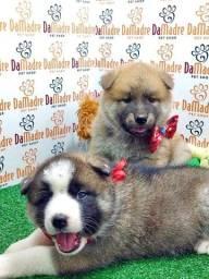 Filhotes de Akita é no Da Madre Pet Shop
