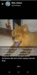 Vende-se um cão da raça Chow chow