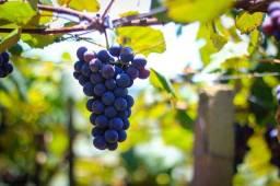Vendo uva