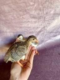 Filhotes de capote/galinha d'angola