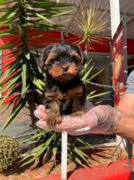 Yorkshire Terrier padrão e micro, machos e fêmeas a pronta entrega aqui comigo