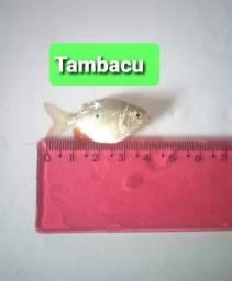 Alevinos várias espécies em Guapó. Produção própria.