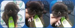 Filhotes de Shih-tzu macho e fêmea com vacina importada e KIT filhote com ração e brinde