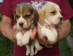 Beagle Mini, Filhotes Entregue com Pedigree! Melhor raça, Amável! Companhia p esse momento