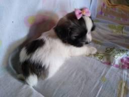 Filhote fêmea Lhasa Apso