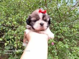 Fêmea Tricolor de.Shih Tzu ## Raça Pura !!!