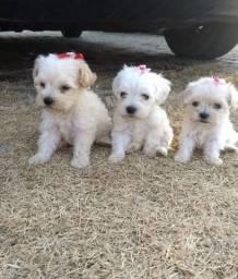 Poodle micro fofinhos