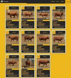 10 Garrotes Senepol PO (Lote fechado de 10 animais)