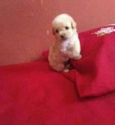 Poodle toy disponível(85) 9  *