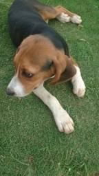 Vende-se cachorrro Beagle, raça de cachorro caçador originário do Reino Unido
