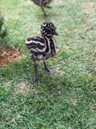 Filhotes de emu Australiano