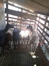 Ovelhas parida só tem 1 solteira e 2 cabras sendo uma está prenha e outra solteira