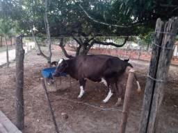 Vende-se vacas em lactação
