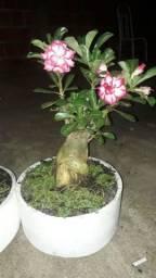 Rosas do deserto Floridas