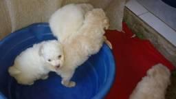 Vendo poodle femeas
