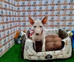 Filhotes de Bull Terrie é no Da Madre Pet Shop