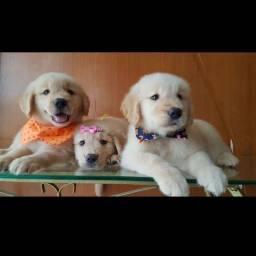 Filhotes de Golden Retriever disponíveis para entrega hoje