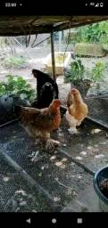Galinhas caipiras e frangos brahmas disponíveis!!