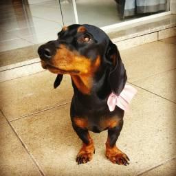 Macho Duchshund