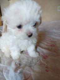 Focinho rosa maltês mini micro maltês com pedigree whats *
