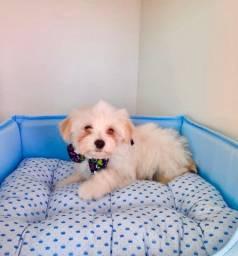 Filhotes de Maltês é no Da Madre Pet Shop
