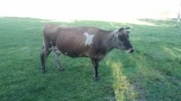 Vacas Jersey