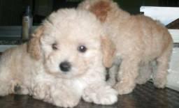 Bebê macho poodle mini