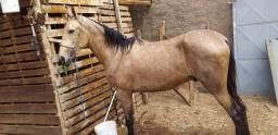 Cavalo mestiço Argentino