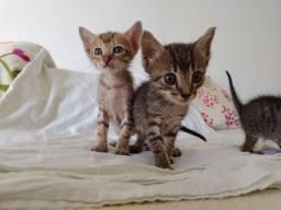 Filhotes gato machos para adoção
