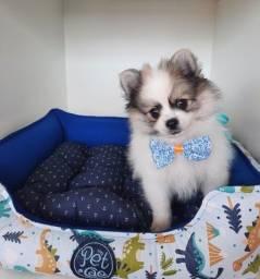 Spitz Alemão é no Da Madre Pet Shop