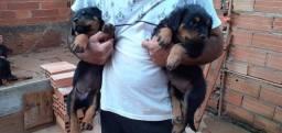 Rottweiler vendo filhotes já vacinados raça pura