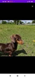 Procuro filhote cachorro Dachshud
