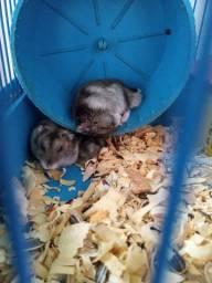 Hamsiter (anão ruso) e (sírio) filhotes