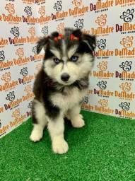 Filhotes de Husky Siberiano é no Da Madre Pet Shop