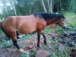 Vendo cavalo lindo e manso para montaria