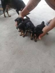 Cachorro Pinscher N° 1  3 MACHO 1 FÊMEA