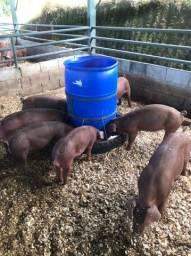 Porcos de raça pura Duroc